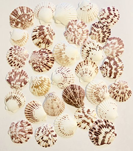 Goldenvalueable Scallops Shells Natural ~2