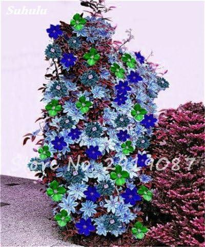 Semillas de flores raras Clematis Clematis Vines Bonsai flores perennes plantas trepadoras Clematis Plantas para jardín 100 Pcs 10: Amazon.es: Jardín