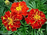 Marigold Flower Seeds Red cherry (tagetes patula) from Ukraine