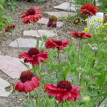 Amazon 30 seeds of perennial gaillardia burgundy blanket 30 seeds of perennial gaillardia burgundy blanket flower large burgundy blooms with solid stems mightylinksfo