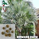 15 Bismarck Palm seeds, ( Bismarckia nobilis )