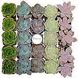 Shop Succulents Rosette Succulent (Collection of 140)