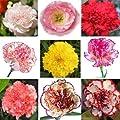 30 PCS Hybrid Sweet-Scented Carnation Seeds