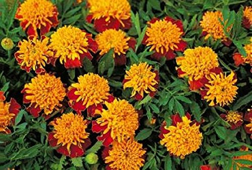 100 Seeds Tiger Eyes Marigold