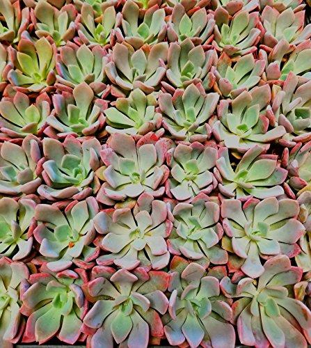Fat Plants San Diego Mini Rosette Succulent Plants in Growers Pots by Fat Plants San Diego (Image #7)