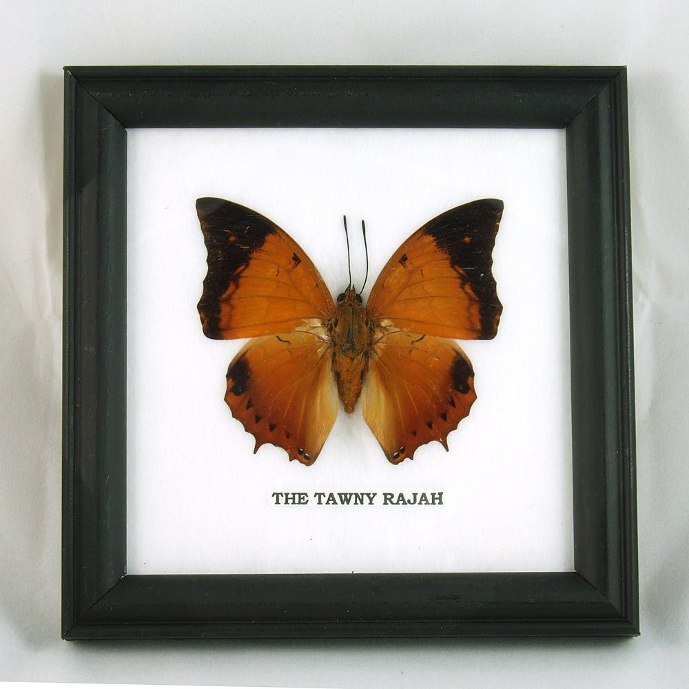 9 x Framed Wall Decor Real Beautiful Butterfly Display Insect Taxidermy 5''x5'' by Thai Productz