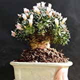 Special Bonsai cactus - amazing plant from the private collection