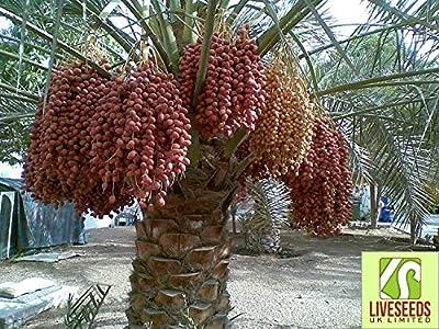 Liveseeds - Dwarf date palm 10 seeds - best room palm - Palm Seeds