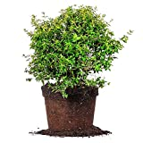 Edward Goucher ABELIA - Size: 3 Gallon, Live Plant, Includes Special Blend Fertilizer & Planting Guide