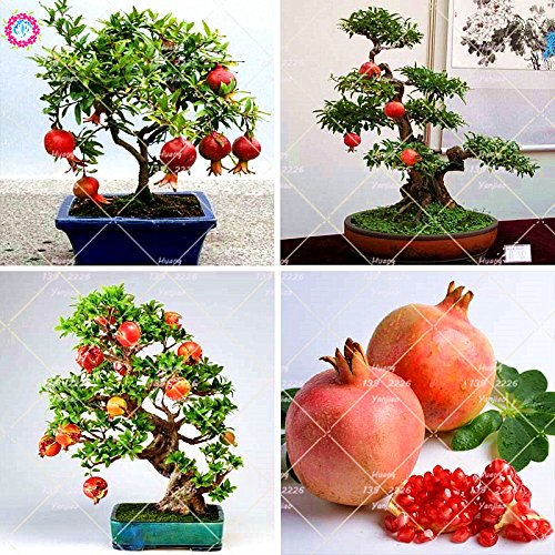 50 Stück Garten Mini Bonsai Granatapfelsamen sehr süß Köstlicher Frucht-Samen Sukkulente Baum Samen Staudentopfpflanze SVI