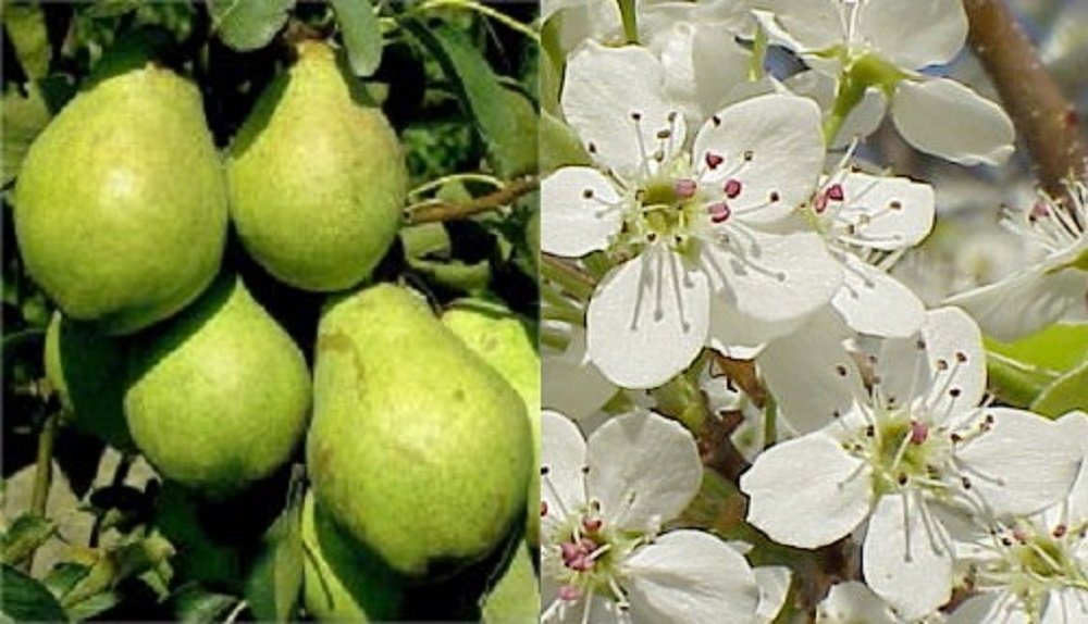 1X 3-4FT PYRUS WILLIAMS PEAR FRUIT TREE - MINI FRUIT TREE - 5L Direct Plants
