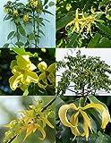 CANANGA ODORATA ylang ilang C H A N E L #5 perfume FRAGRANT FLOWER SEED 15 seeds