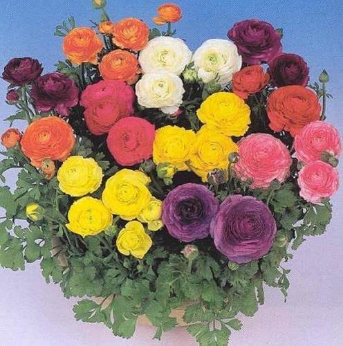 ranunculus-bloomingdale-mix-perennial-seeds