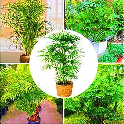 40pcs Palm Bamboo Seeds, Indoor Plants Tree Seeds New Arrival DIY Home Garden : Garden & Outdoor