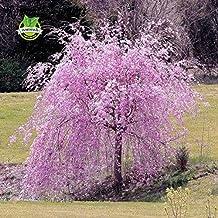 20 pink fountain weeping cherry tree Seeds DIY Home Garden Dwarf Tree Seeds Perennial