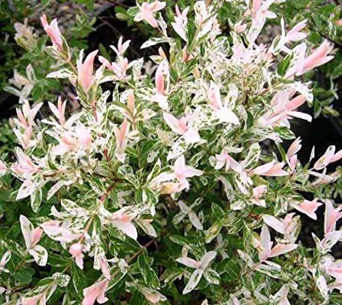 Hakuro Nishiki Dappled Willow Bush - Quart Pot by New Life Nursery & Garden