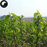 Shopmeeko Buy Morus Alba Tree Semente 200pcs Plant Mulberry Leaf for Silkworm Food Sang Shu