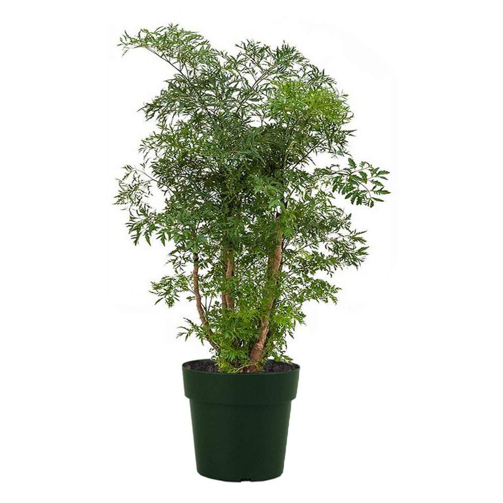 AMERICAN PLANT EXCHANGE Dwarf Ming Aralia Tree Indoor/Outdoor Air Purifier Live Plant, 6'' 1 Gallon Pot, Natural Bonsai Look