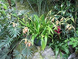 Phragmipedium warscewiczianum from the Orchid family with over 28000 species .