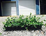 Asiatic Jasmine Minima - 3 Live Plants 2'' Pot Size - Trachelospermum Asiaticum - Drought Tolerant Cold Hardy Evergreen Ground Cover