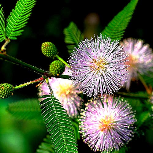 (Sensitive Plant Seeds 300+ Non-GMO Seeds, Touch Me Not, Mimosa Pudica, Moving Plant, Shameful Plant, Shy Plant)