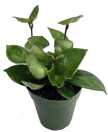 Amazoncom Green Wax Plant Hoya Great House Plant 4 Pot