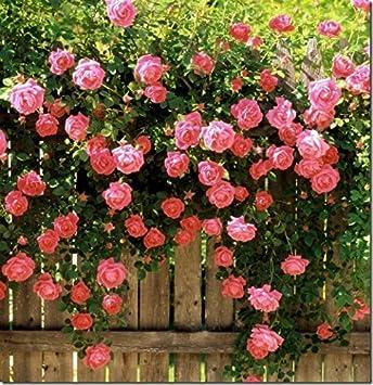 Enredaderas De Flores De Semillas De Rosa Polyantha Rosa Semillas