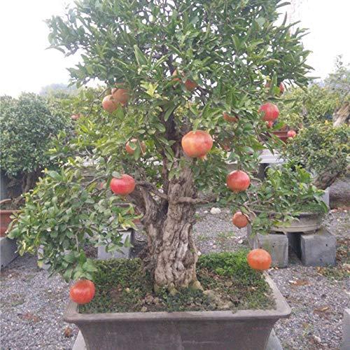 (100x Pomegranate Seeds Mini Tree Sweet Delicious Fruit Seeds Bonsai plantvh)