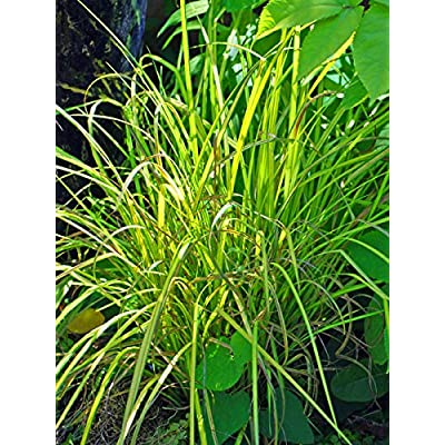 Perennial Farm Marketplace Carex e. 'Aurea' Bowles Golden (Variegated Sedge) Ornamental Grass, Size-#1 Container, Solid Yellow Leaf Blades : Garden & Outdoor