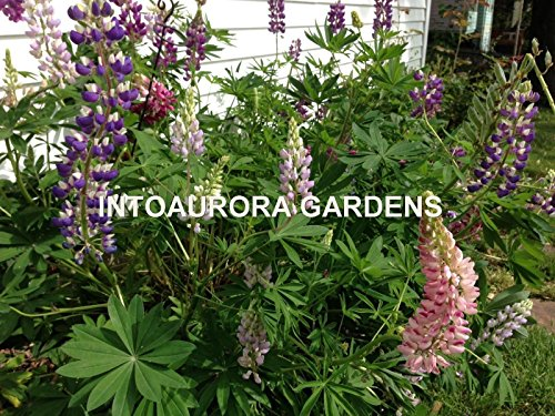 Lupine Russell Mix (Russell Lupine Mix Perennial Seeds Flowers)