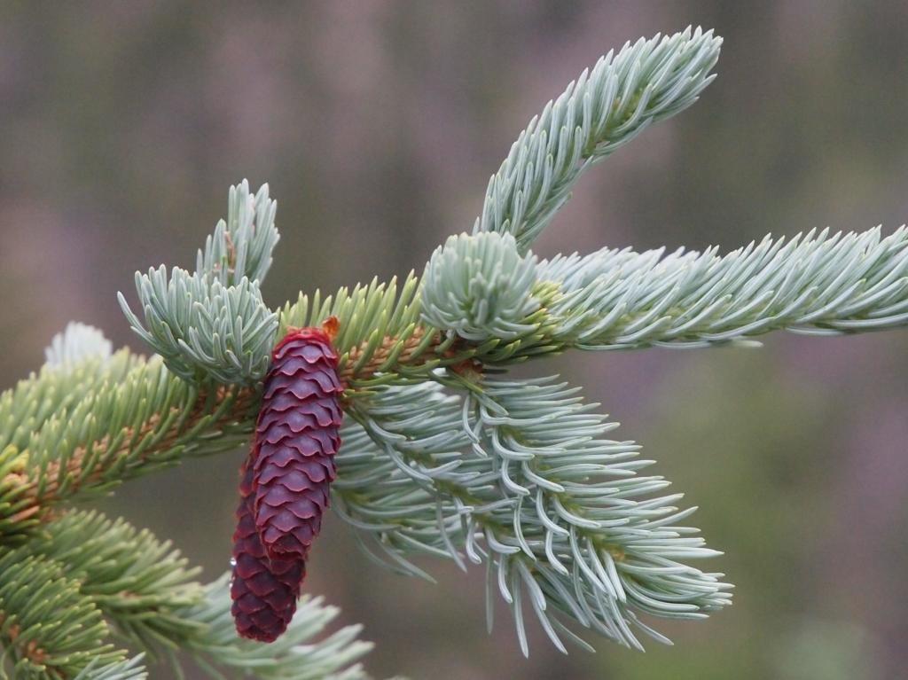 WEEPING ENGELMANN SPRUCE - Picea engelmannii 'Bushes Lace' 2 - Year PLANT