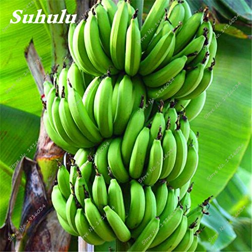 Sale! 50 Pcs/bag Bonsai Banana Seeds, Dwarf Fruit Tree Seeds, Easy to Grow Delicious Organic Fruit Seeds Balcony & Yard Planting