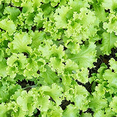 Lettuce Garden Seeds - Black Seeded Simpson - Non-GMO, Heirloom Vegetable Gardening & Microgreen Seeds