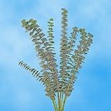 GlobalRose 50 Fresh Cut Eucalyptus Flowers - Fresh Flowers Wholesale Express Delivery