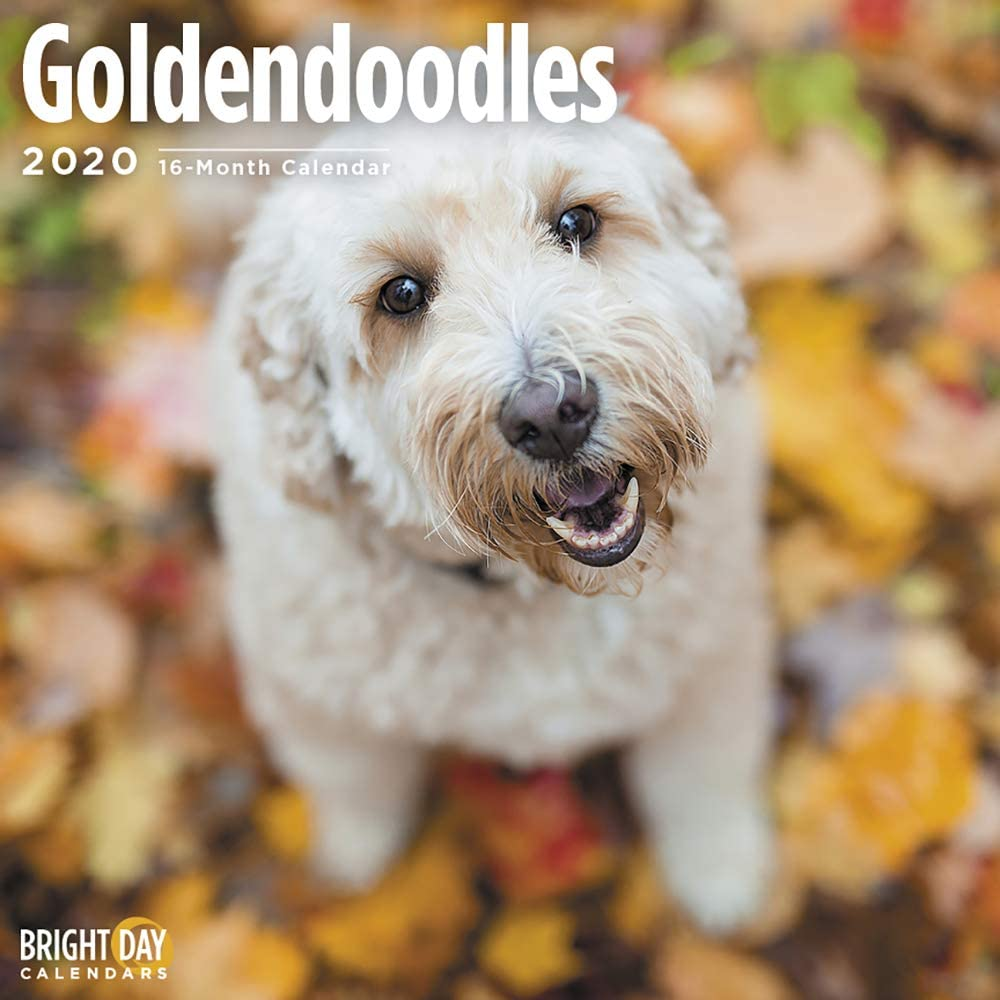 2020 Goldendoodles Wall Calendar By Bright Day 16 Month 12 X 12 Inch Cute Dogs Puppy Animals Poodle Doodle Canine