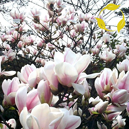 Hot CHINESE WILLOLEAF MAGNOLIA Magnolia Biondii 5 SEEDS supplier