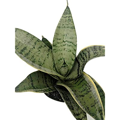 "Sansevieria Mother-in-Law's Tongue Starlite Snake Live Plant 4"" Pot Home Gardening tkng : Garden & Outdoor"