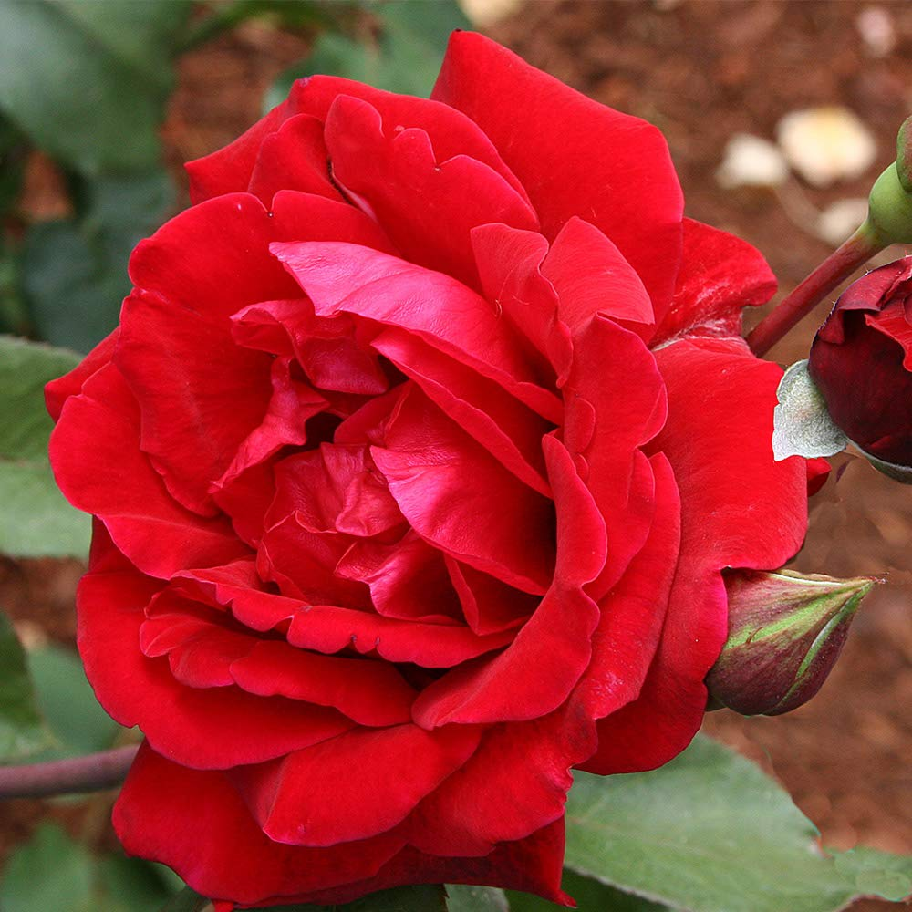 Own-Root One Gallon Don Juan Climbing Rose by Heirloom Roses by Heirloom Roses (Image #2)