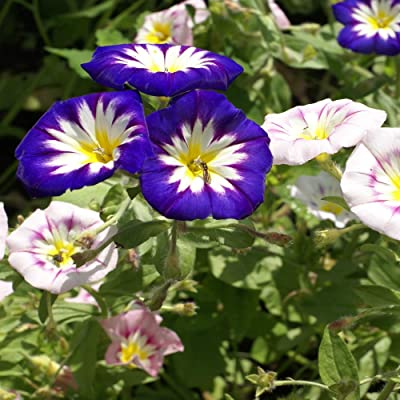 Outsidepride Morning Glory Ensign Mix - 1000 Seeds: Toys & Games