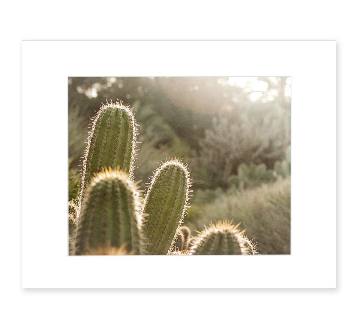 Cactus Wall Art, Botanical Desert Picture, 8x10 Matted Photographic Print (fits 11x14 frame), 'Desert Sunset'