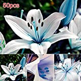 5 Blue Rare Lily Bulbs Planting Lilium Perfume Flower Garden Home Bonsai Decor