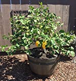 Okitsu Wase Satsuma Mandarin Semi-dwarf aka Citrus ret 'Okitsu Wase' PATIO TREE Live Plants Fruit Tree - fit 5 Gallon Pot - FREE GIFT - From Bellacia Garden