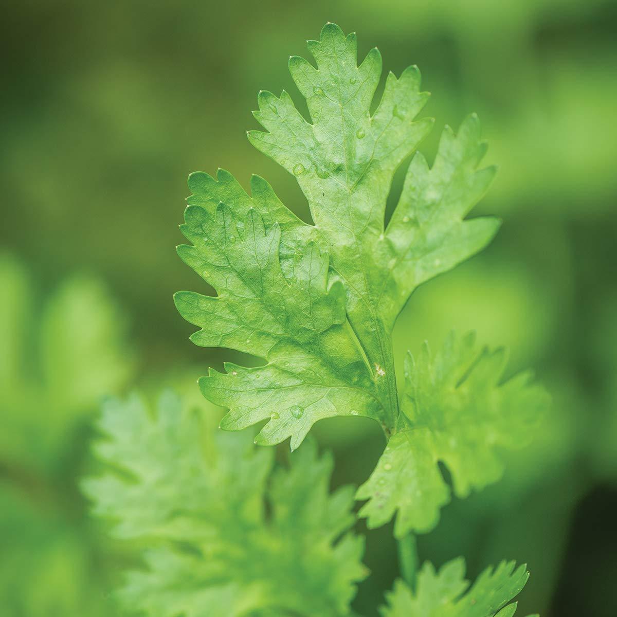Burpee Calypso' Cilantro 3 Live Plants, 2 1/2'' Pot