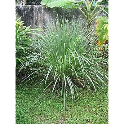 50 Lemon Grass Seeds Cymbopogon Flexuosus, Caribbean Fever Grass Perennial Balcony Outdoor Plant for Home : Garden & Outdoor