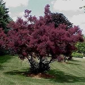 Purple Smoke Tree Seeds (Cotinus coggygria Purpureus) 20+Seeds