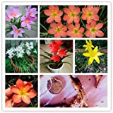 2 Bulbs Zephyranthes Candida Bulbs Not Zephyranthes Candida Seed Flower Bulbs MIX #32761096514ST