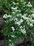 Perennial Farm Marketplace Clematis paniculata Sweet Autumn Flowering Vine, 4 quart, White