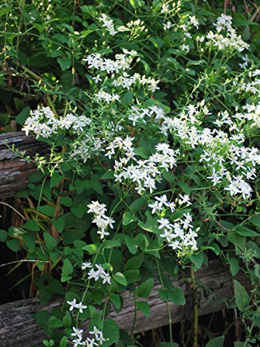 Amazon perennial farm marketplace paniculata sweet autumn perennial farm marketplace paniculata sweet autumn clematis flowering vine 4 quart white mightylinksfo