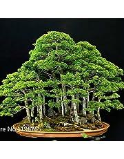 30 genévrier bonsaï Graines de fleurs en pot bureau bonsaï purifient l'air absorbent les gaz nocifs