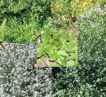 Muhlan Garten 6 Topfe Immergrune Bodendecker 3 Sorten Gegen